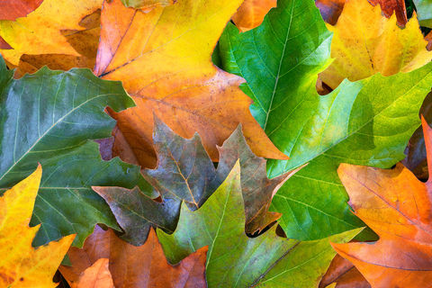 maple salad, british columbia, leaves, autumn, color, big leaf maple