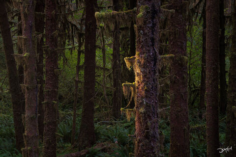 hoh rainforest, tree, calm, moss, morning, kiss, sun