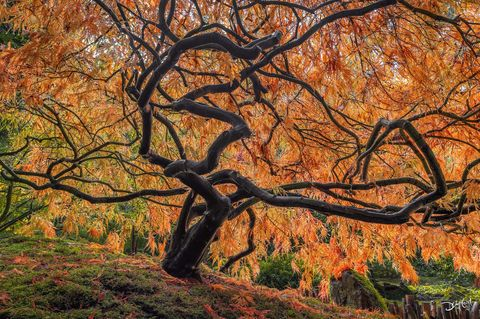 nitro, butchart, british columbia, japanese, maple, autumn, mossy