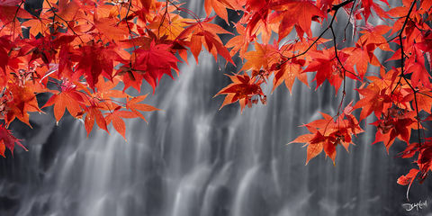 tranquility, japanese, maple, cascade, crimson, leaves, vancouver island, british columbia