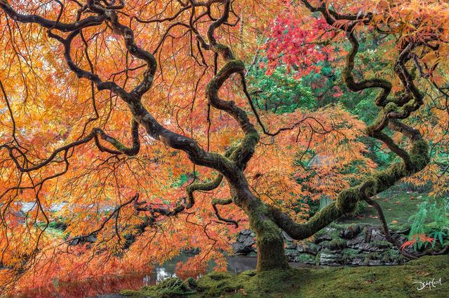 dreamweaver, british columbia, japanese maple, fall color, moss
