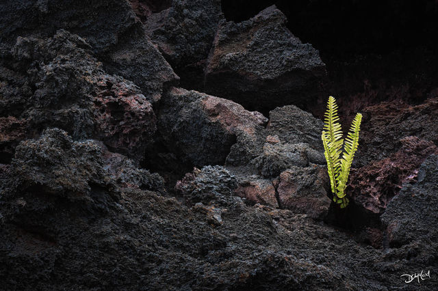 life, hawaii, big island, lava, kupukupu fern, rock