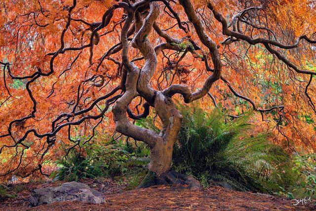 the emperor, japanese maple, tree, autumn color, cutleaf