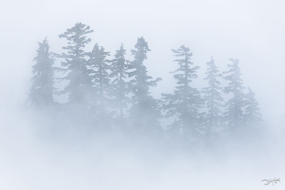 Distant spruce trees huddled together in thick fog at Artist Point, Washington.
