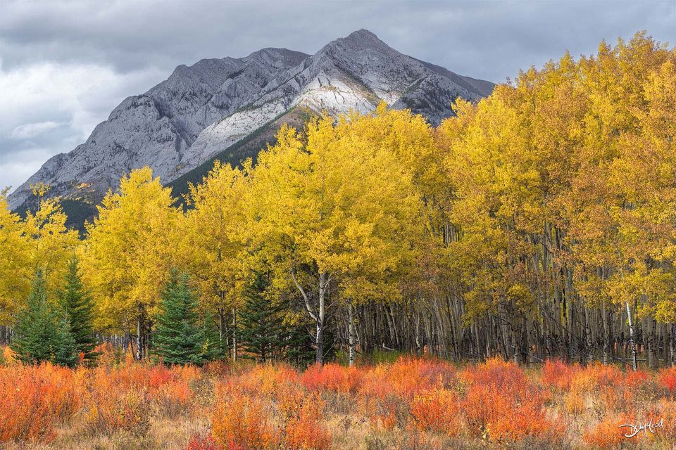 Colorful aspen trees in autumn with orange bushy groundcover and a distant mountain peak in Kananaskis, Alberta, Canada.