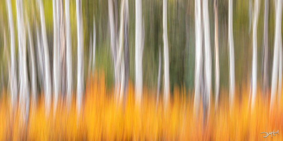 Abstract view of white aspen tree trunks amongst orange bushes in Kananaskis, Alberta, Canada.