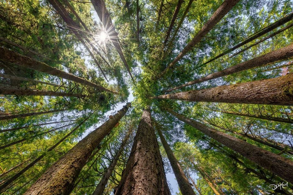 The view looking straight up in an old growth forest as the sun shines through the canopy of branches in Port Renfrew, British Columbia, Canada.