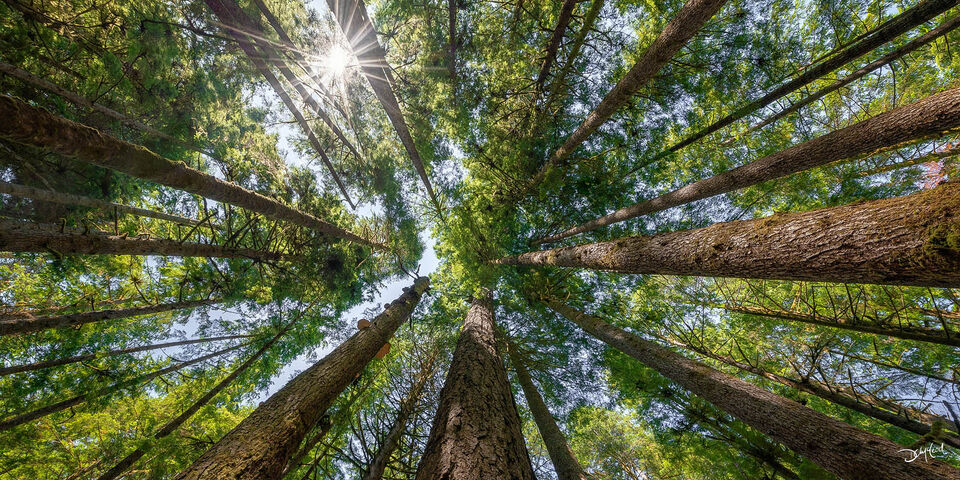 Sun shining through an old growth forest canopy in Port Renfrew, BC, Canada.