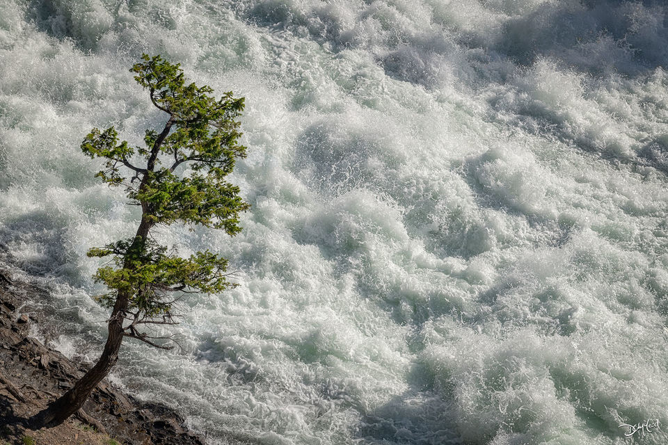 A single pine tree grows on the shore of the raging waters of Bow Falls, Alberta, Canada.