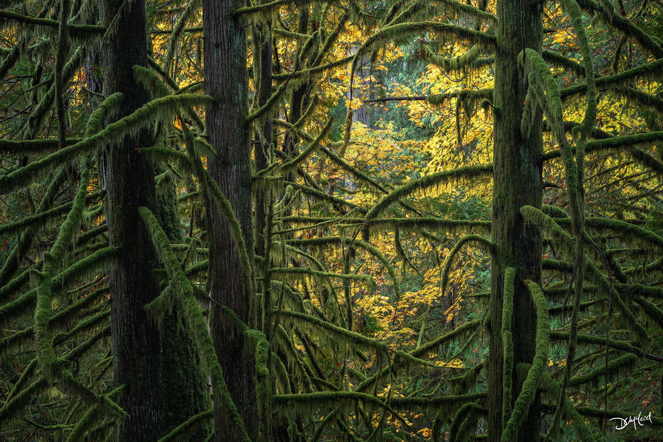 Mossy green trees and yellow leaves in the forest of Goldstream Provincial Park in British Columbia, Canada.