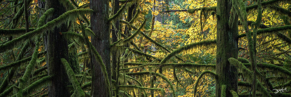 Panorama view of dark mossy tree trunks and branches in Goldstream Provincial Park, BC, Canada.