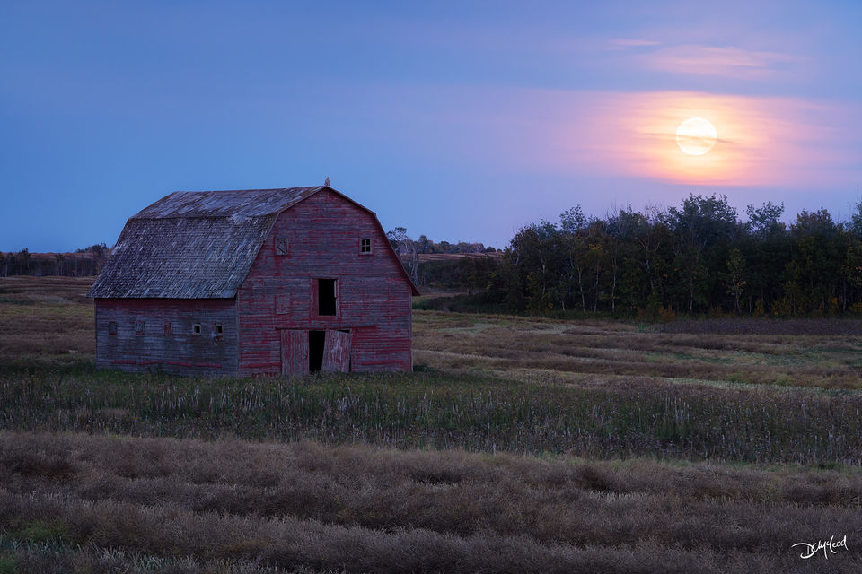 A great horned owl perched on roof of old barn in a prairie field during moonrise in Saskatchewan, Canada,