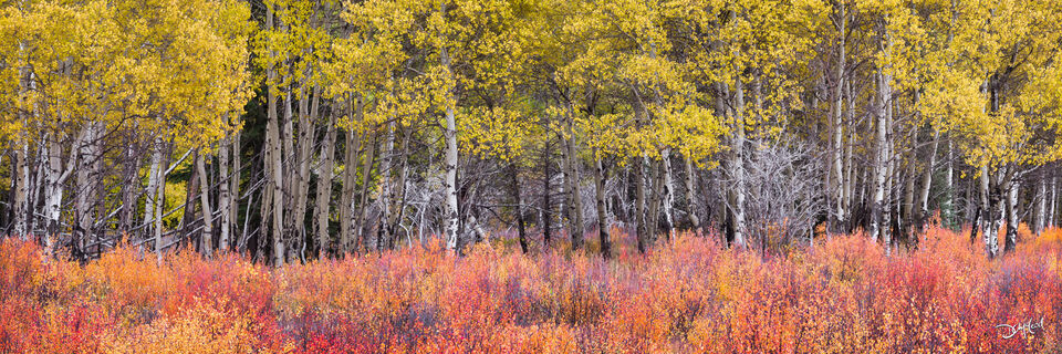 Panorama view of an aspen tree grove with yellow leaves and orange bushes in Kananaskis, Alberta, Canada.
