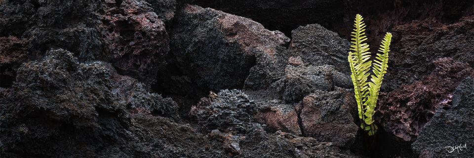 Panorama view of a single fern growing amongst black lava rocks in Hawaii.
