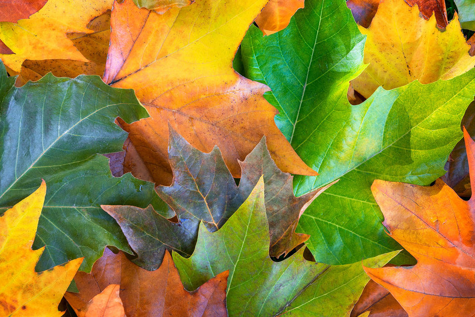 Red, orange and green maple leaves lying on the ground in autumn in Victoria, British Columbia, Canada.