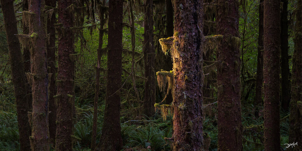 A ray of sunlight on a dark mossy tree trunk in the Hoh Rainforest in Washington.