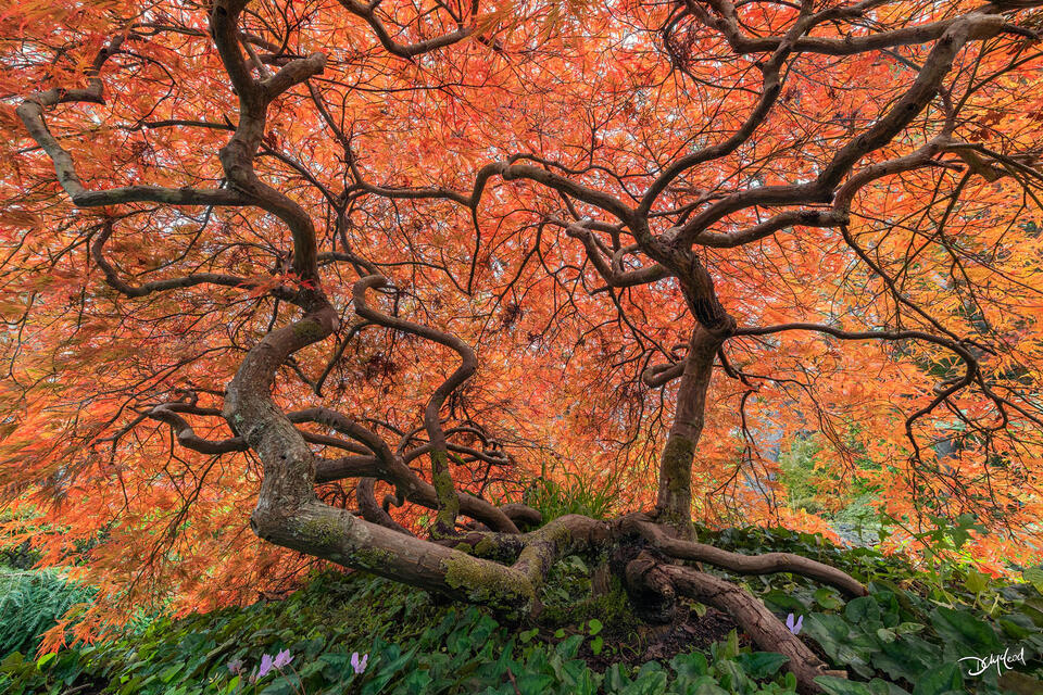 Small Japanese maple tree with many twisting branches and bright orange leaves in Victoria, British Columbia, Canada.
