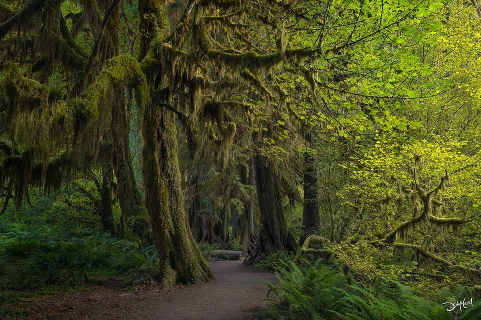 A footpath leads into the Hoh Rainforest at sunrise with large mossy trees and ferns.