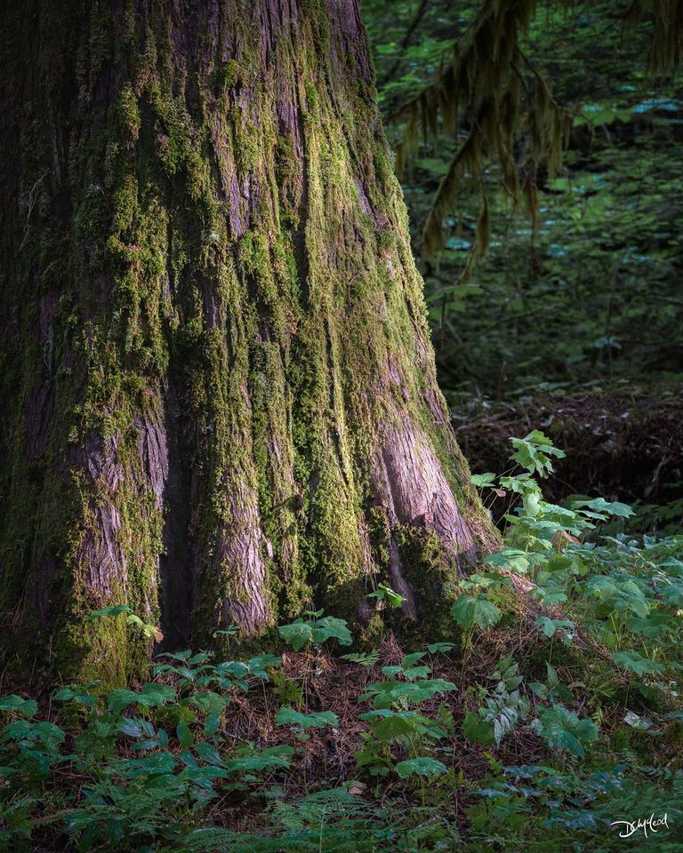 The base of a large cedar tree receives soft light at sunrise in the Grove of the Patriarchs, Washington.