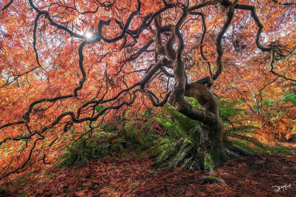 The sun shines through the canopy of orange leaves on an old Japanese maple tree in Victoria, British Columbia.