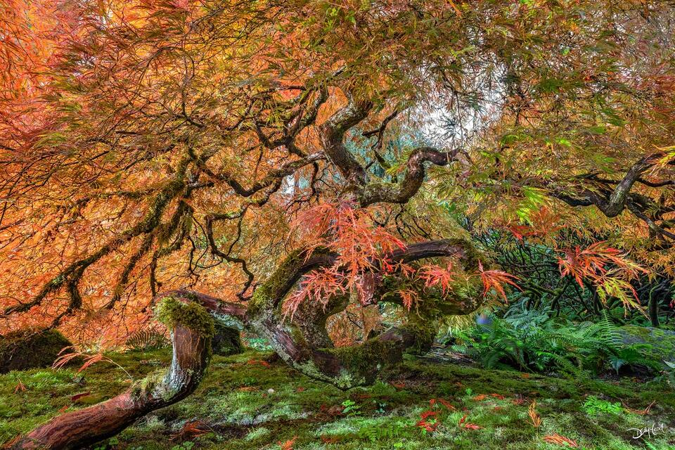 Two Japanese cutleaf maple trees with orange leaves grow together with twisted trunks in Victoria, British Columbia, Canada.