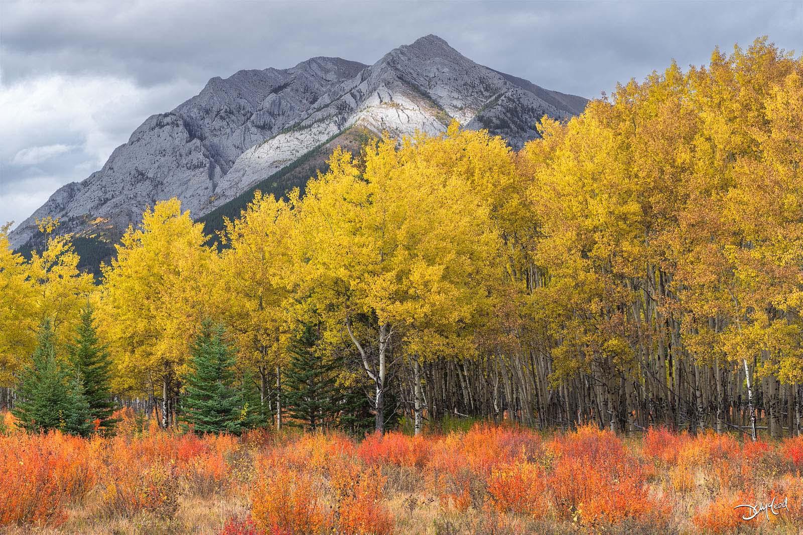 autumn, aspens, rockies, kananaskis country, alberta, canada, blaze, photo