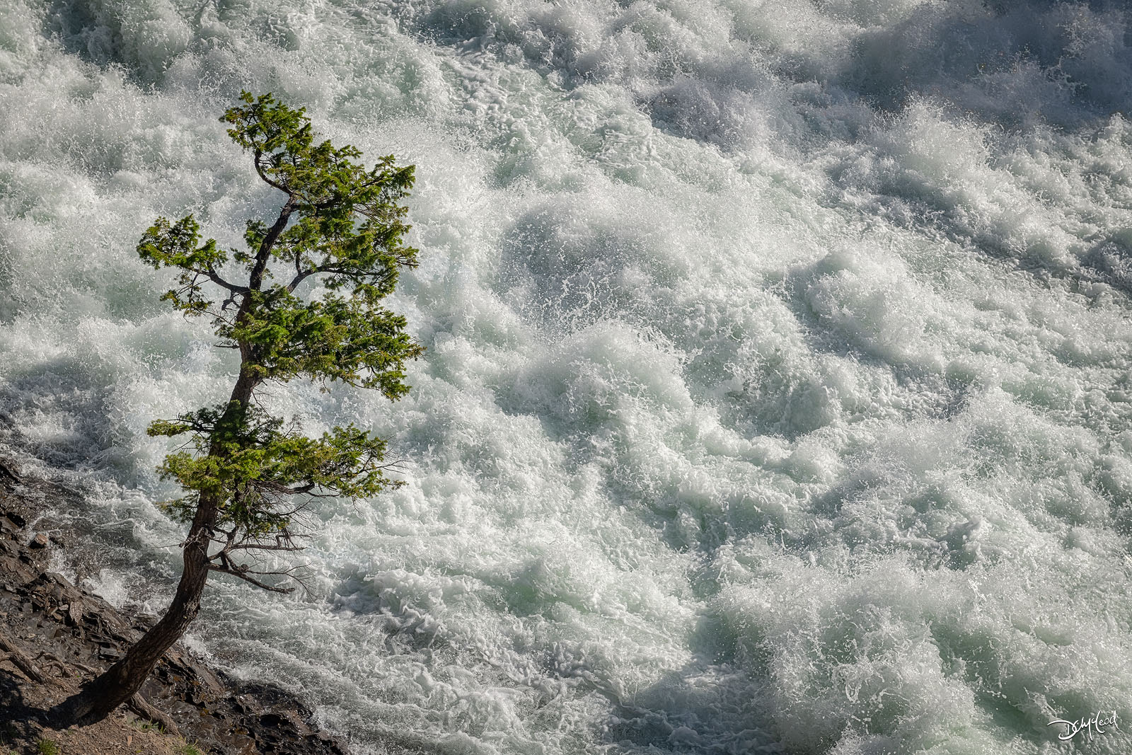 determined, pine, tree, rushing, water, bow falls, banff, photo