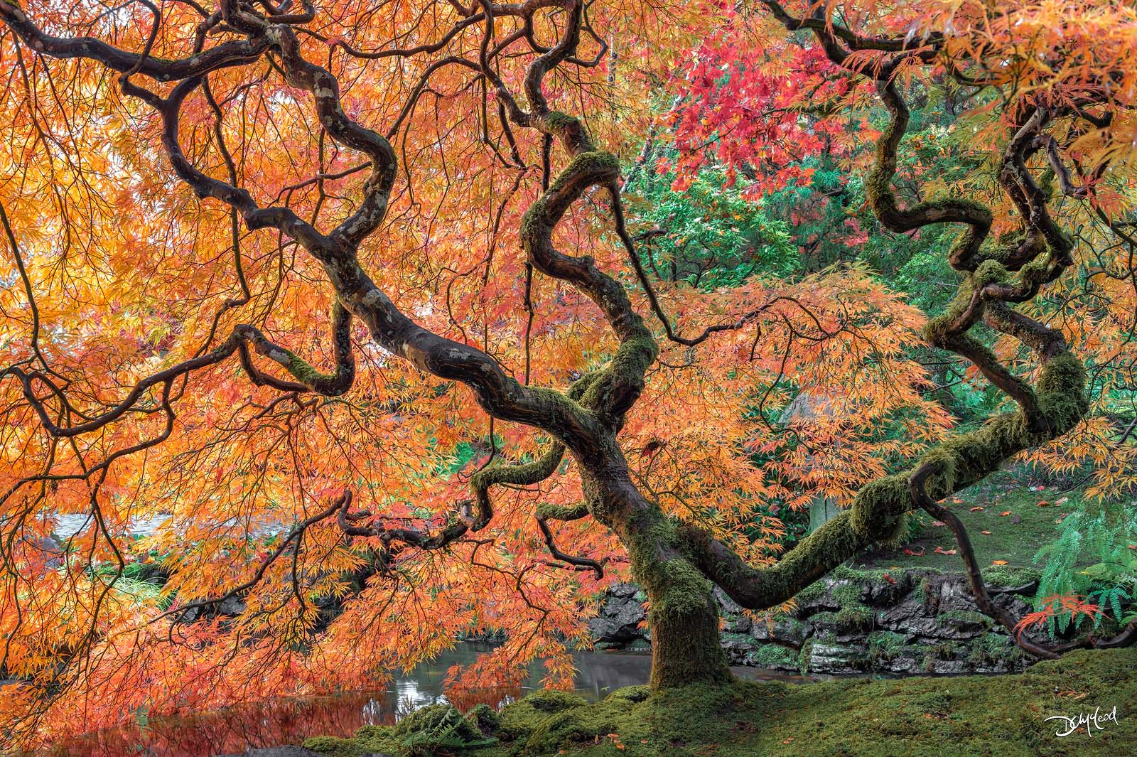 dreamweaver, british columbia, japanese maple, fall color, moss, photo