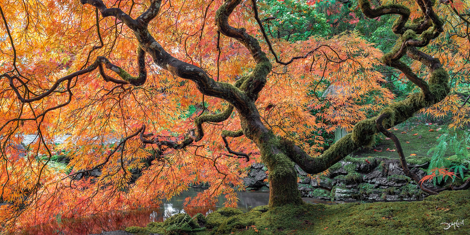 Mossy Japanese maple tree with orange leaves in Butchart Gardens, BC, Canada.