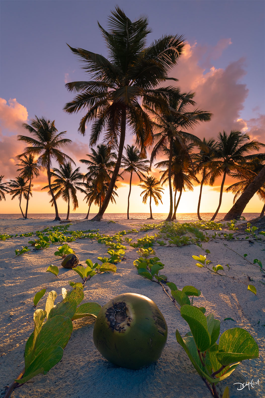 A coconut in the sand amongst green vines and palm trees during a bright sunrise in Punta Cana, Dominican Republic.