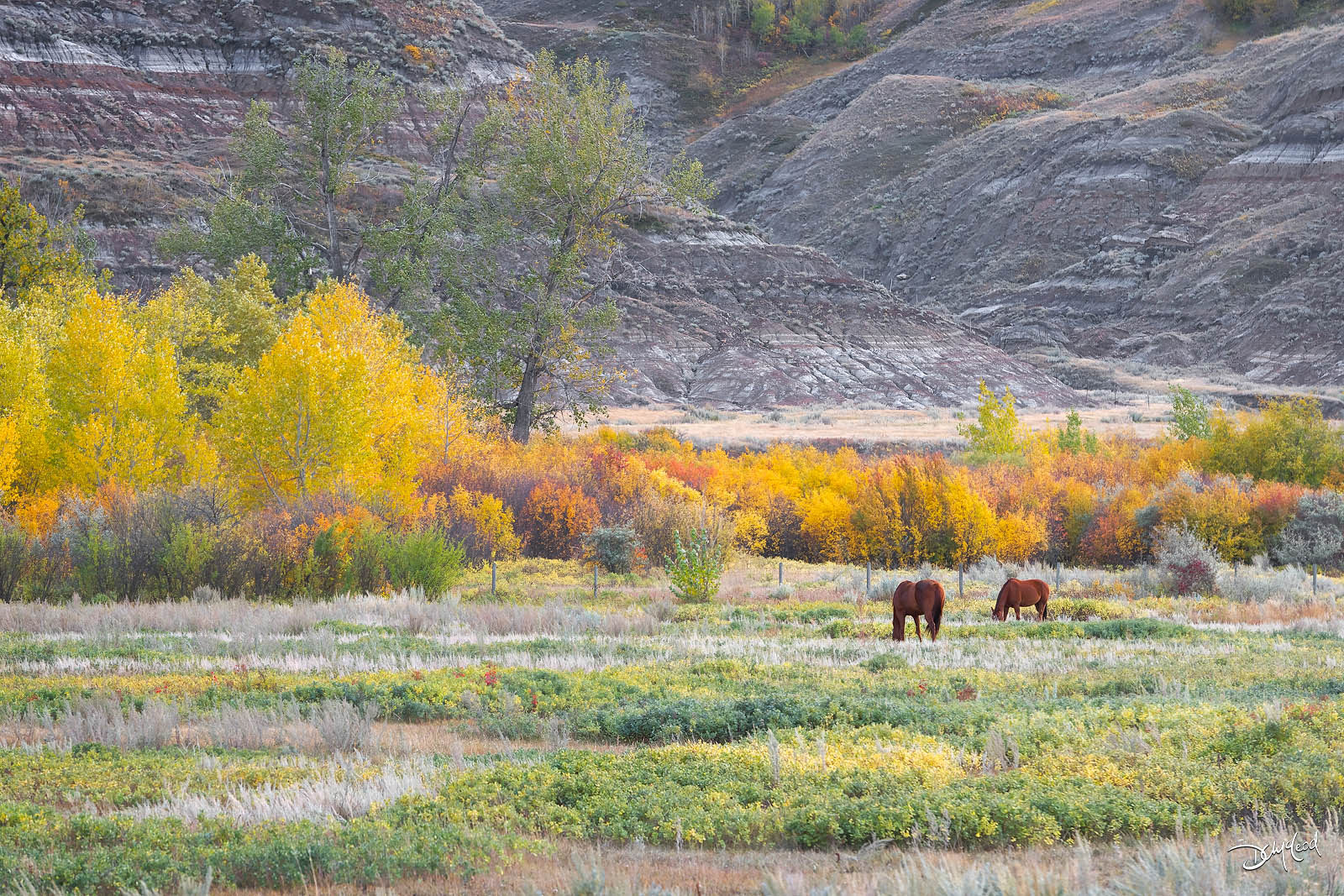 Two horses graze in a field with colorful trees near Drumheller, Alberta, Canada.
