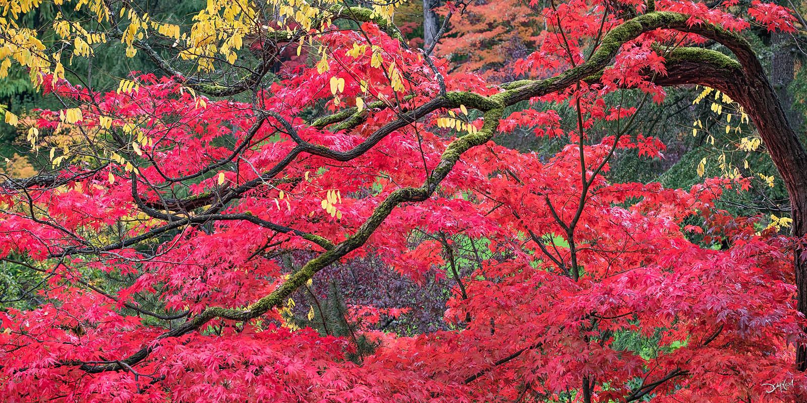 Detailed view of a Japanese maple tree branch in autumn with bright red foliage at Butchart Gardens in British Columbia.
