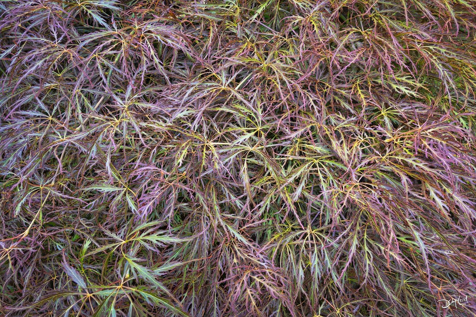 Closeup view of the pink and green colors of Japanese maple leaves in autumn.
