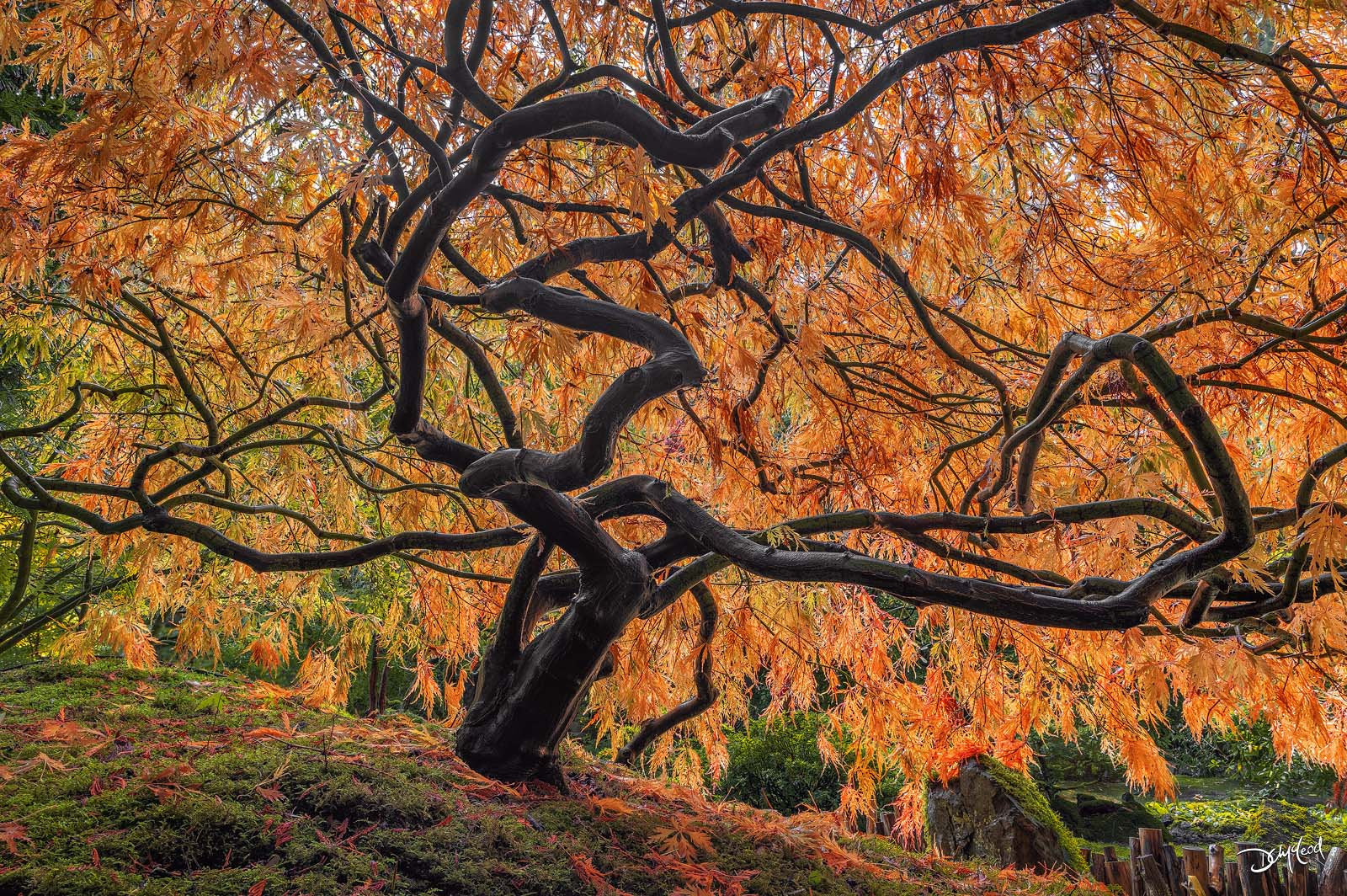 A small Japanese maple tree with orange leaves and mossy groundcover in Victoria, British Columbia, Canada.