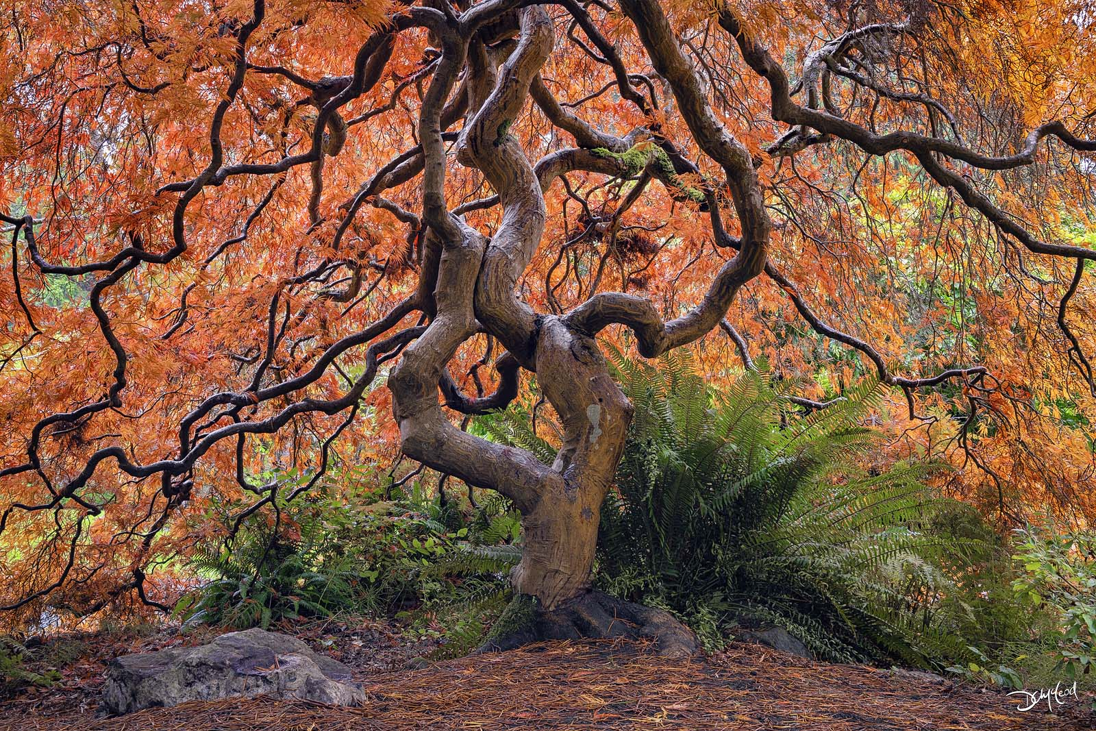 Large old Japanese maple tree with twisting branches and orange leaves in Victoria, British Columbia, Canada.