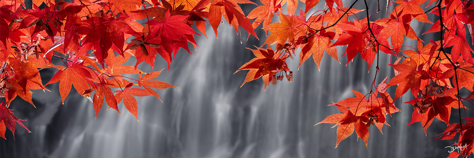 Panorama view of red maple leaves hanging in front of a gentle cascade on Vancouver Island, British Columbia.